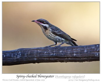 Spiny-cheeked Honeyeater (Acanthagenys rufogularis) by Ian