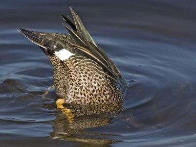 Blue-Winged-Teal-Dabbling ©Flyways USFWS