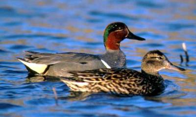 Green-winged Teal (Anas carolinensis) Pair ©WikiC