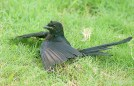 Black Drongo (Dicrurus macrocercus) Anting ©WikiC