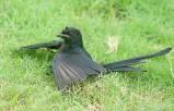 Black Drongo (Dicrurus macrocercus) Anting ©WikiC