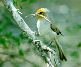Verdin (Auriparus flaviceps) Building Nest 1 ©Earle Robinson