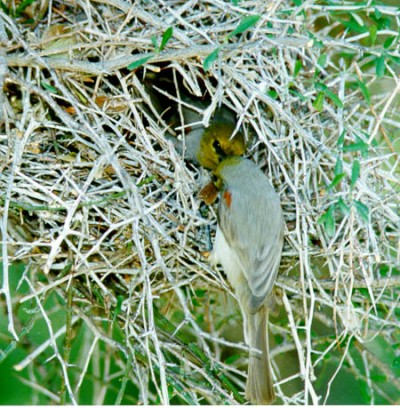 Verdin (Auriparus flaviceps) Building Nest ©Earle Robinson