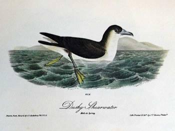 Audubon's Shearwater (Puffinus lherminieri) Drawing Ian