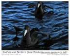 Southern Giant Petrel (Macronectes giganteus) and Northern Giant Petrel (Macronectes halli) juv by Ian