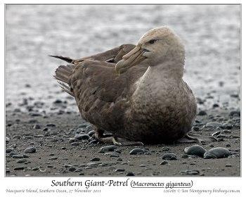 Southern Giant Petrel (Macronectes giganteus) by Ian