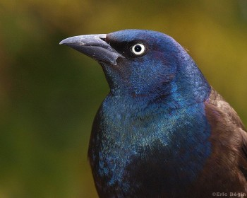 Common Grackle (Quiscalus quiscula) ©©Eric Begin