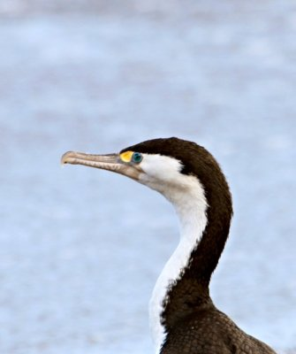 Imperial Shag (Leucocarbo atriceps) by W Kwong
