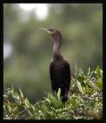 Neotropic Cormorant (Phalacrocorax brasilianus) by by Robert Scanlon