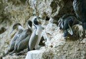 Spotted Shag (Phalacrocorax punctatus) by W Kwong
