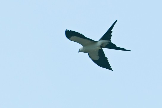 Swallow-tailed Kite (Elanoides forficatus) by Africaddict