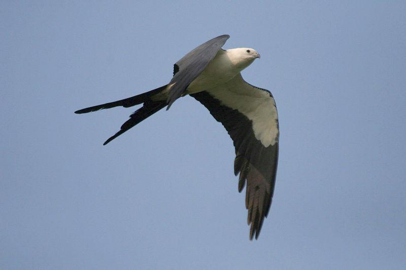 Swallow-tailed Kite (Elanoides forficatus) ©Wikipedia