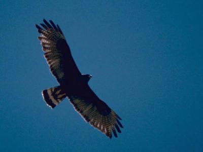 Zone-tailed Hawk (Buteo albonotatus) ©WikiC