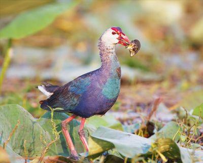 Purple Swamphen (Porphyrio porphyrio) ©WikiC