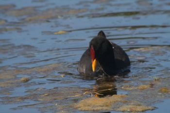 Red-fronted Coot (Fulica rufifrons) ©WikiC