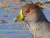 Spot-flanked Gallinule (Gallinula melanops) Cropped ©WikiC