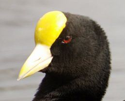 White-winged Coot (Fulica leucoptera) Cropped ©WikiC