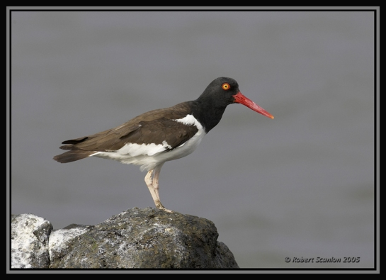 American Oystercatcher (Haematopus palliatus) by Robert Scanlon