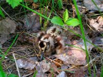American Woodcock (Scolopax minor) chick ©WikiC