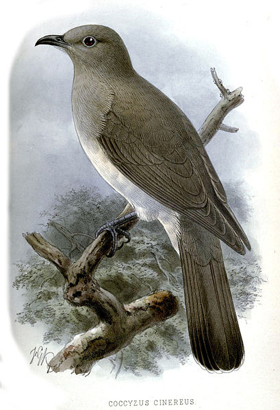 Ash-colored Cuckoo (Coccycua cinerea) ©Drawing WikiC