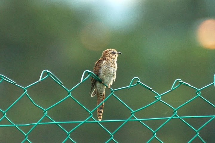 Banded Bay Cuckoo (Cacomantis sonneratii) by MSMuin