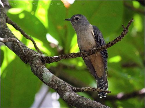 Brush Cuckoo (Cacomantis variolosus) by Ian