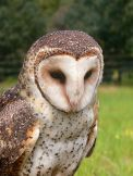 Australian Masked Owl (Tyto novaehollandiae) ©WikiC