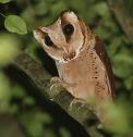 Oriental Bay Owl (Phodilus badius) by Peter Ericisson