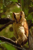 Oriental Bay Owl (Phodilus badius) ©WikiC