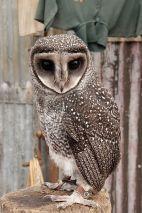 Sooty Owl (Tyto tenebricosa) ©WikiC