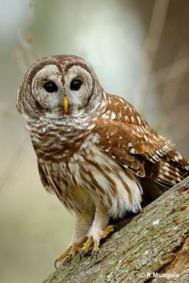 Northern Barred Owl (Strix varia) Reinier Munguia