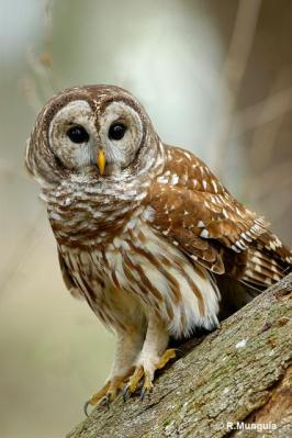Northern Barred Owl (Strix varia) Reinier Munguia