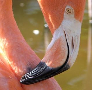 American Flamingo Beak cropped