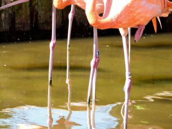 American Flamingos with foot up