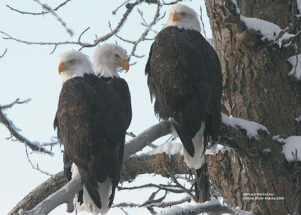 Bald Eagles 2 for Alaska' Bald Eagle