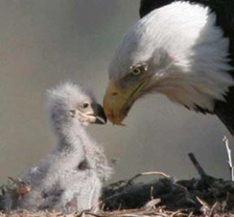 Eagles Protecting Their Young –YouTube