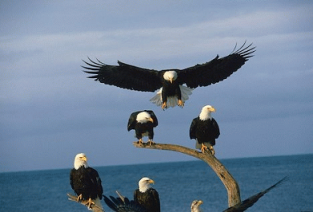 Bald Eagles 7