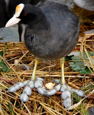 Giant Coot (Fulica gigantea) Loped Feet ©©Flickr