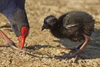 Purple Swamphen (Porphyrio porphyrio) ©WikiC parent and chick