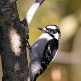 Woodpeckers in the Waterman BirdCollection