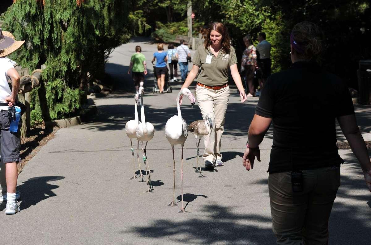 Greater Flamingo (Phoenicopterus roseus) at Cincinnati Zoo by Dan First walk