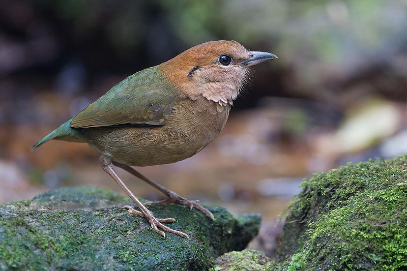 Rusty-naped Pitta (Hydrornis oatesi) ©WikiC