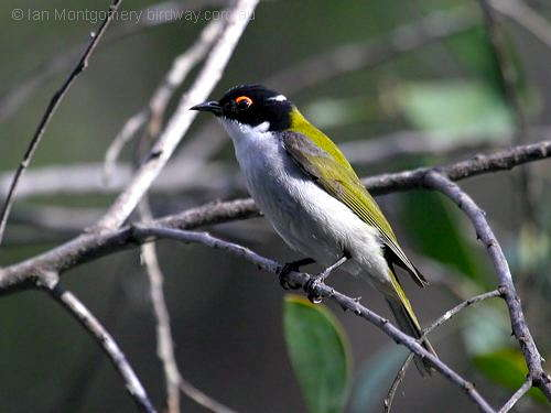 White-naped Honeyeater (Melithreptus lunatus) by Ian at Birdway