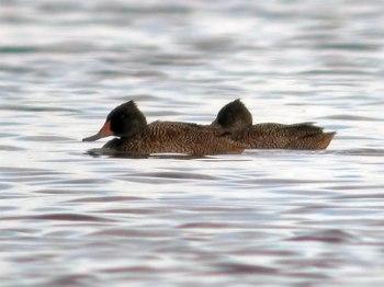 Freckled Duck (Stictonetta naevosa) by Ian