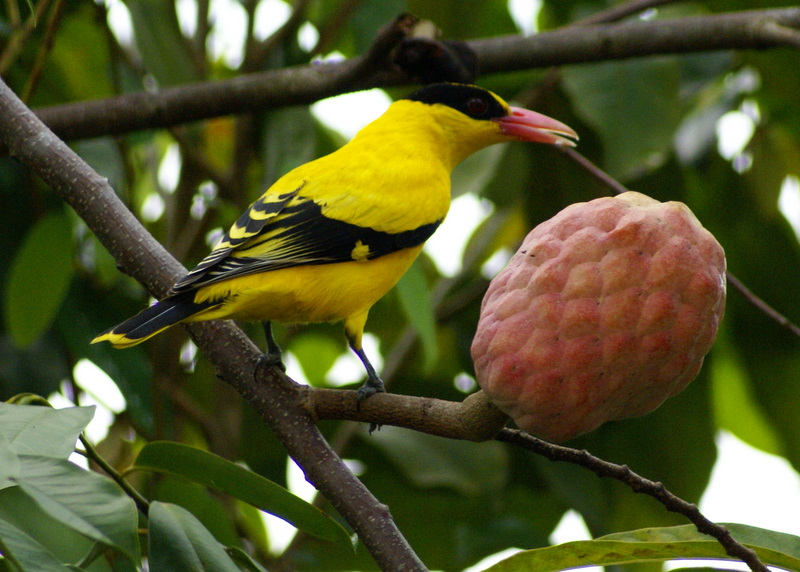 Black-naped Oriole (Oriolus chinensis) ©WikiC