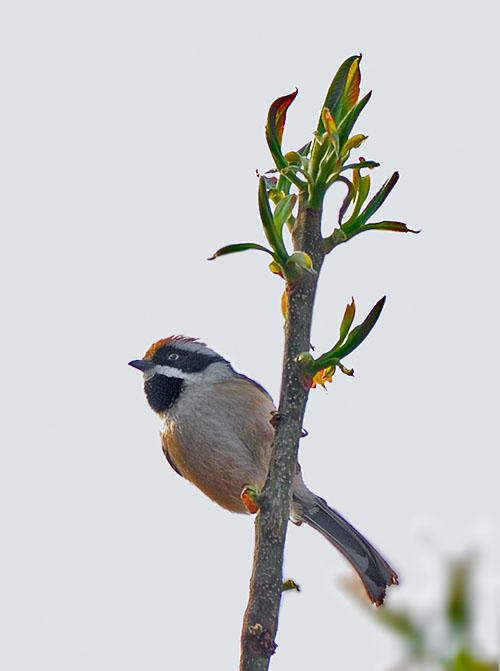 Rufous-naped Tit (Periparus rufonuchalis) by W Kwong