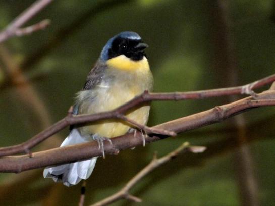 Blue-crowned Laughingthrush (Pterorhinus courtoisi) at Cincinnati Zoo by Lee