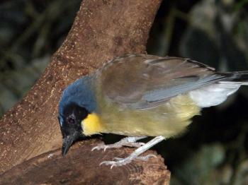 Blue-crowned Laughingthrush (Garrulax courtoisi) at Cincinnati Zoo by Lee