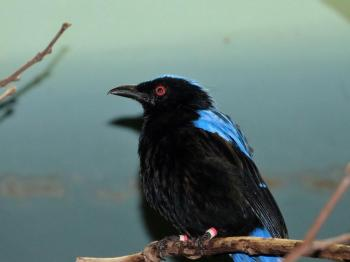 Asian Fairy-bluebird (Irena puella) at Cincinnati Zoo by Lee