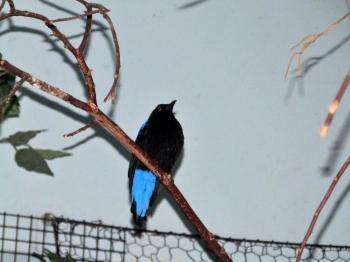 Asian Fairy-bluebird (Irena puella) at Cincinnati Zoo by Lee